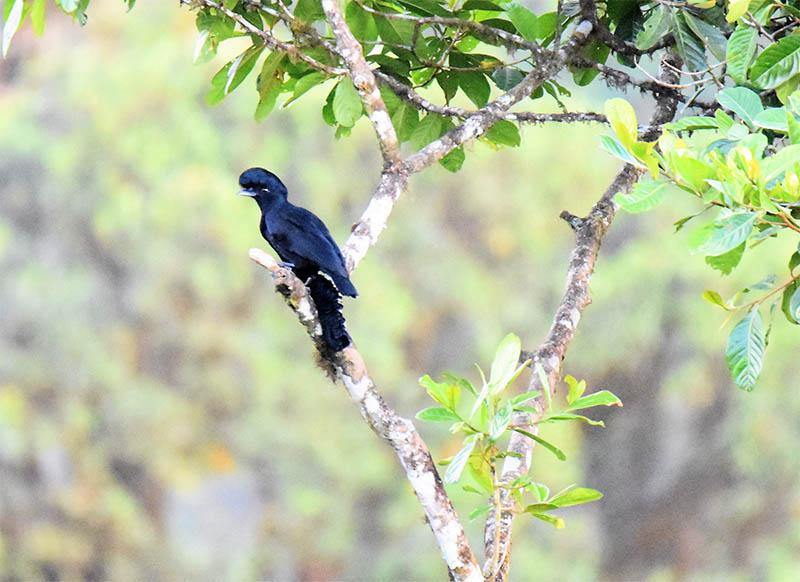 Long Wattled Umbrella Bird, El Monte Sustainable Lodge, Mindo