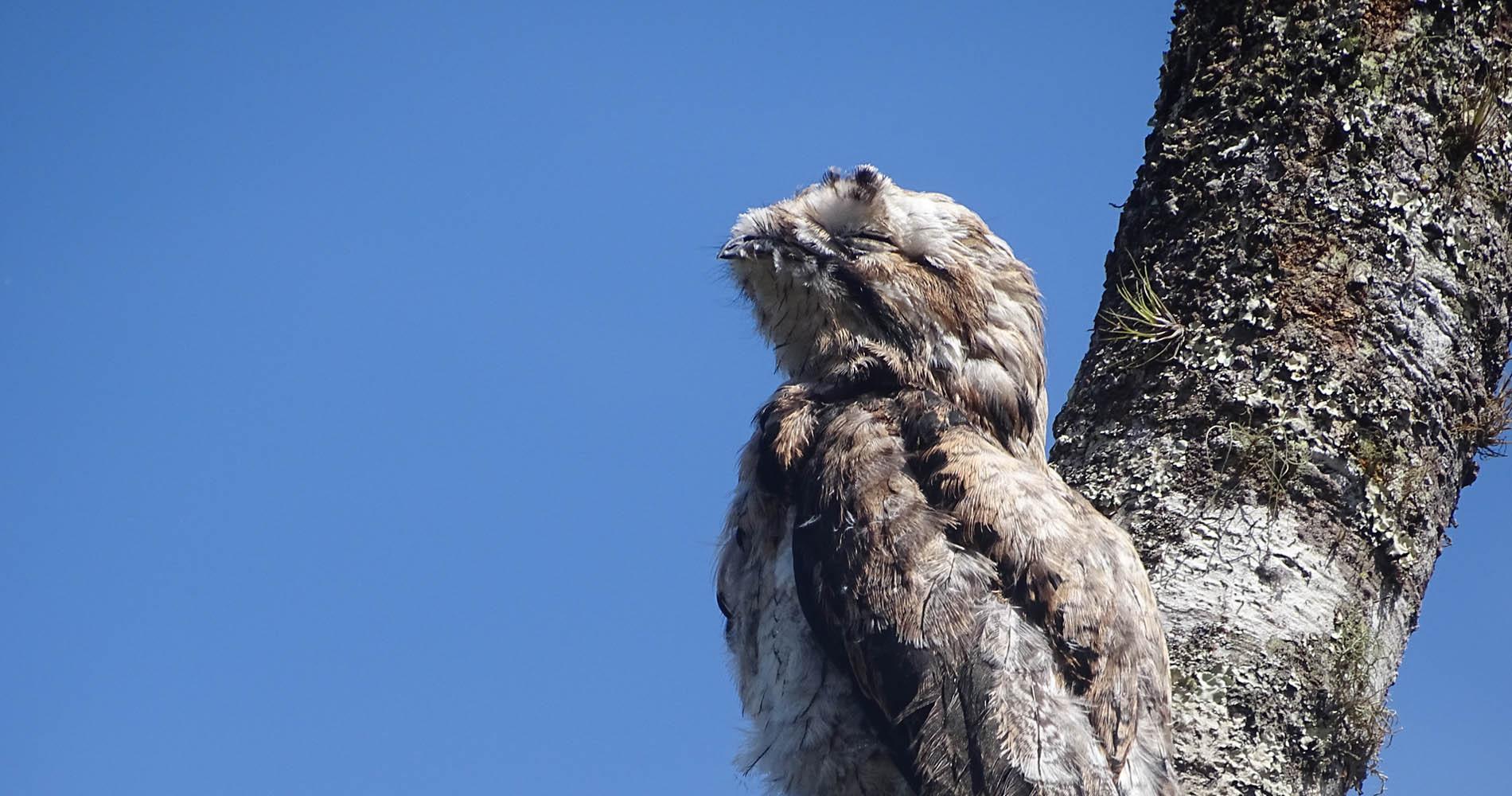Common Potoo, El Monte Sustainable Lodge, Mindo