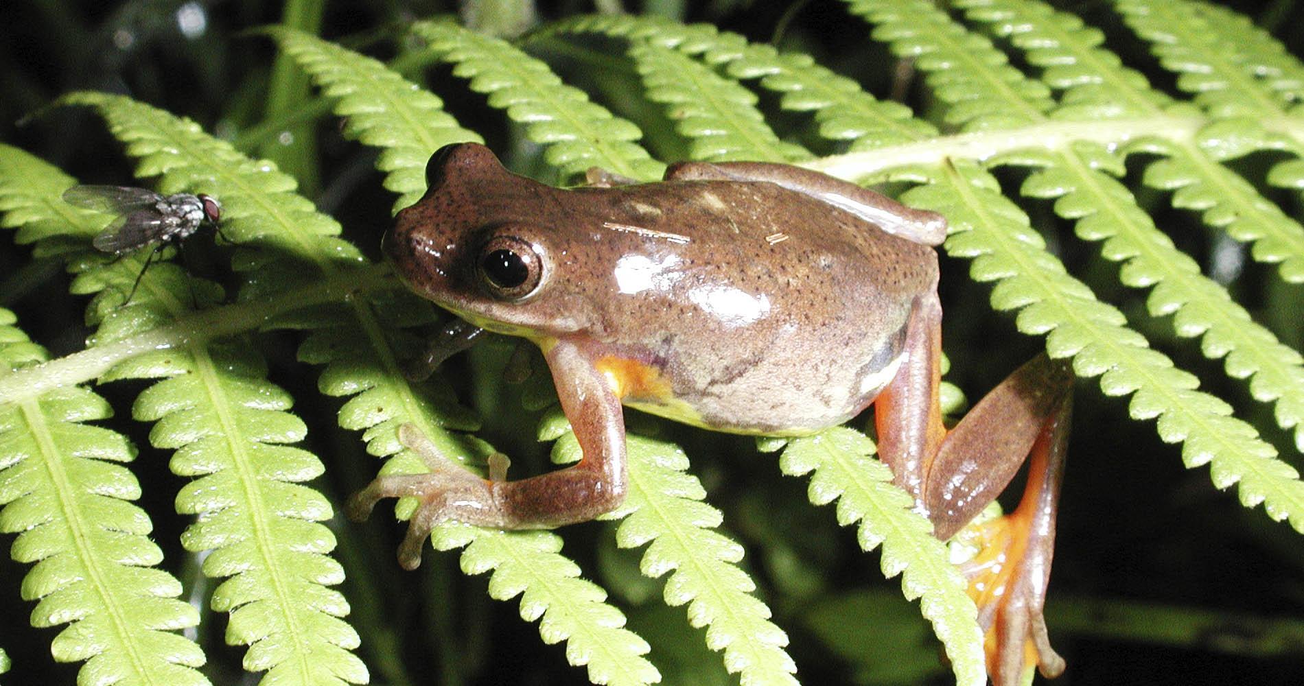 Tree frog, Hypsiboans dendrophilis, El Monte Sustainable Lodge