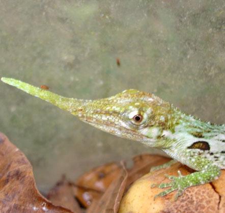 Anole proboscis, Pinocchio Lizard, Mindo Ecuador, El Monte Sustainable Lodge