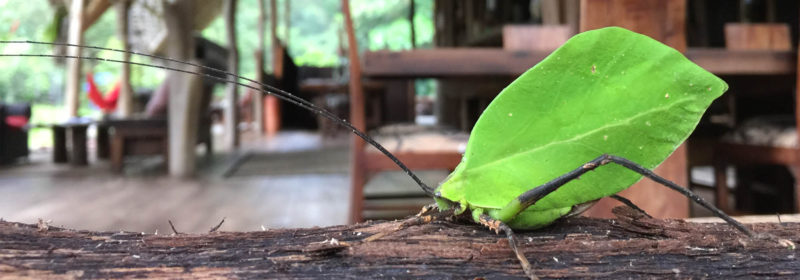 Leaf Mimic Katydid, El Monte Sustainable Lodge, Mindo Ecuador