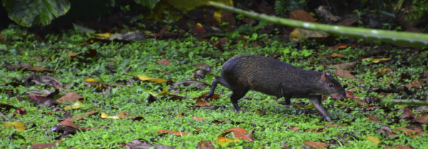 Central American Agouti, Mindo Ecuador, El Monte Sustainable Lodge