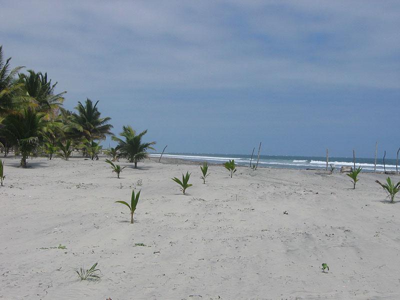 Young Coconut Palms Portete Ecuador El Monte Sustainable Lodge